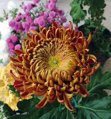 Cut Flower Garden by Wshg Net Garden Chrysanthemums U2014 Colorful Hardy Flowers