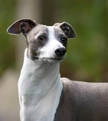 Pictures Of Blind Dogs Italian Greyhound Dog Breed Information Pictures Characteristics