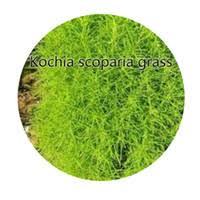 best kochia scoparia grass to buy buy new kochia scoparia grass