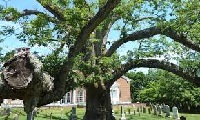 what the of an oak tree can teach us about mortality aeon