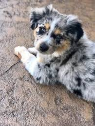 australian shepherd kid friendly blue eyed audrey toy australian shepherd dog toys pinterest