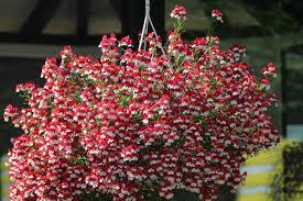 balkon grã npflanzen gartenbau landschaftsbau cloppenburg beetpflanzen balkonpflanzen