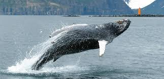 whale watching iceland tours u2013 whale watching tours husavik