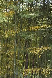 337 best bamboe bamboo images on pinterest bamboo garden
