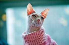 sphynx sweaters collection of sphynx cat sweaters best fashion trends and models