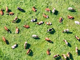 mathematicians decode the surprising complexity of cow herds wired