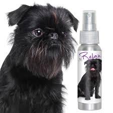 affenpinscher photos affenpinscher stress relaxing dog aromatherapy thunderstorms