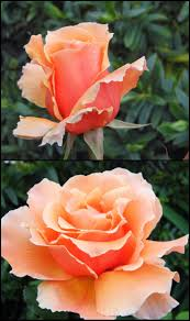 363 best rose bushes and climbing roses images on pinterest