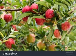 ripe royal gala apples on apple stock photo 389038681 shutterstock