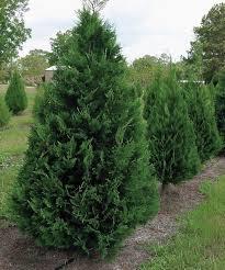 lowes leyland cypress
