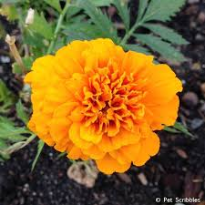 marigolds in the vegetable garden yes and here u0027s why hometalk
