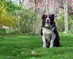 australian shepherd growth chart 97 best australian shepherd dog images on pinterest dog photos
