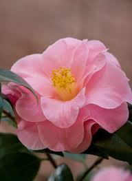 camellia flowers camellias