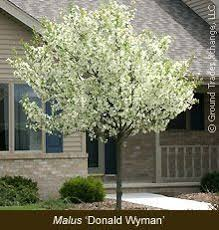 royal magnolia ornamental tree front yard flowers plants