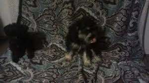 affenpinscher for sale ohio other page 3 for sale ads free classifieds