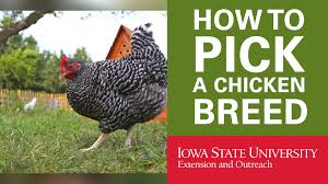 backyard chickens how to pick your breed of chicken youtube