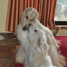 afghan hound creepy aw lets go outside to play afghan hounds pinterest plays