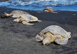black sand beach hawaii punalu u black sand beach unique hawaii beaches
