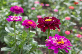 Zinnia Flower How To Sow Zinnia Seeds Indoors Gardenersworld Com