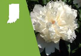 Peony Flowers Indiana State Flower Peony Proflowers Blog