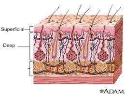 Human Ear Anatomy Quiz Anatomy Quiz 1 Dr Brasington Ppt Video Online Download