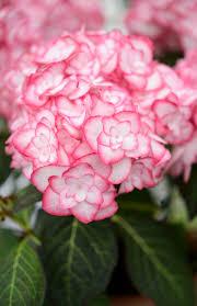 hydrangeas flowers hydrangea macrophylla miss saori this gorgeous and