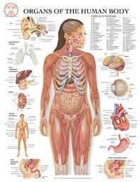 Blank Body Map Template by Diagrams Of Human Anatomy Image Collections Learn Human Anatomy