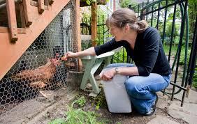 toronto considers lifting ban on backyard chickens citynews toronto