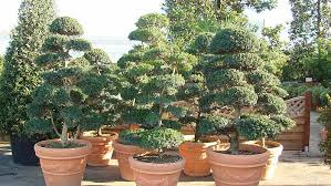Topiary Cloud Trees - cloud trees niwaki cloud trees for sale online uk