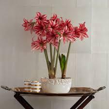 shop amaryllis gifts white flower farm