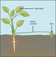 Diseases In Plants And Animals - asexual reproduction boundless biology
