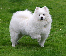 american eskimo dog rescue michigan american eskimo dog wikipedia