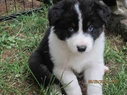 australian shepherd black 71 most cute australian shepherd puppies pictures and photos