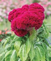 coxcomb flower velvet celosia seeds and plants annual flower garden at