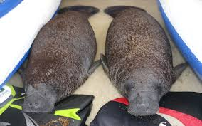 orphan manatee twins at columbus zoo and aquarium
