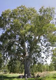 eucalyptus camaldulensis wikipedia