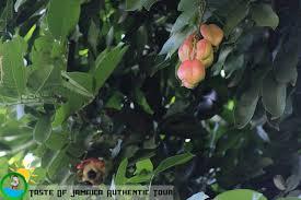 Ackee Fruit Tree - jamaican ackee tree u2013 taste of jamaica tours