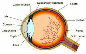 Basic Anatomy Of The Ear Human Sense Organs The Five Senses