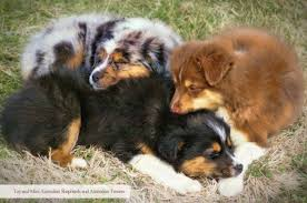 australian shepherd breeders near me spring valley aussies breeders of toy and mini australian