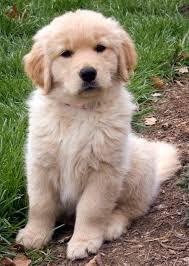 belgian sheepdog golden retriever mix the daily puppy user information