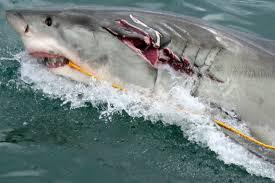 watch diver captures great white sharks battling for dominance