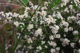 Shrub Small White Flowers - prickly cryptandra a shrub that u0027s rare here the courier