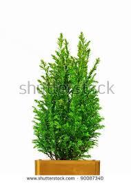 free photos small fir trees for pots avopix