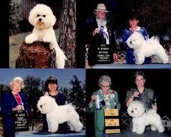 bichon frise kennels retired dogs u2013 hollyhock bichons