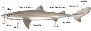 Anatomy Difference Between Male And Female The Shark Trust Male U0026 Female Sharks