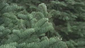 Cutting Christmas Tree - what to know before cutting a christmas tree in the okanogan wen