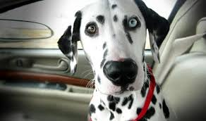 dalmatian rescue illinois dedicated finding loving homes
