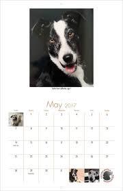 australian shepherd 2016 calendar the grey muzzle organization 2017 calendar yearbox calendars