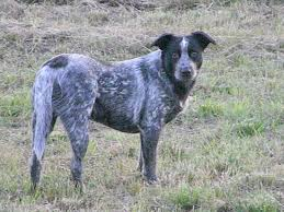 australian shepherd black australian shepherd lab pitbull mix dog and cat