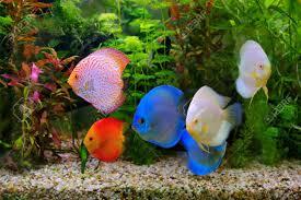 native aquarium plants discus symphysodon multi colored cichlids in the aquarium